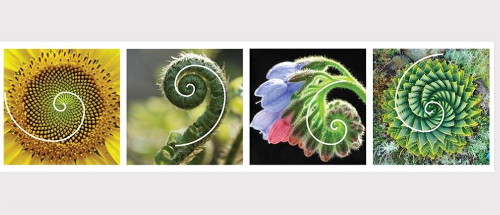 نسبت طلایی در گیاهان